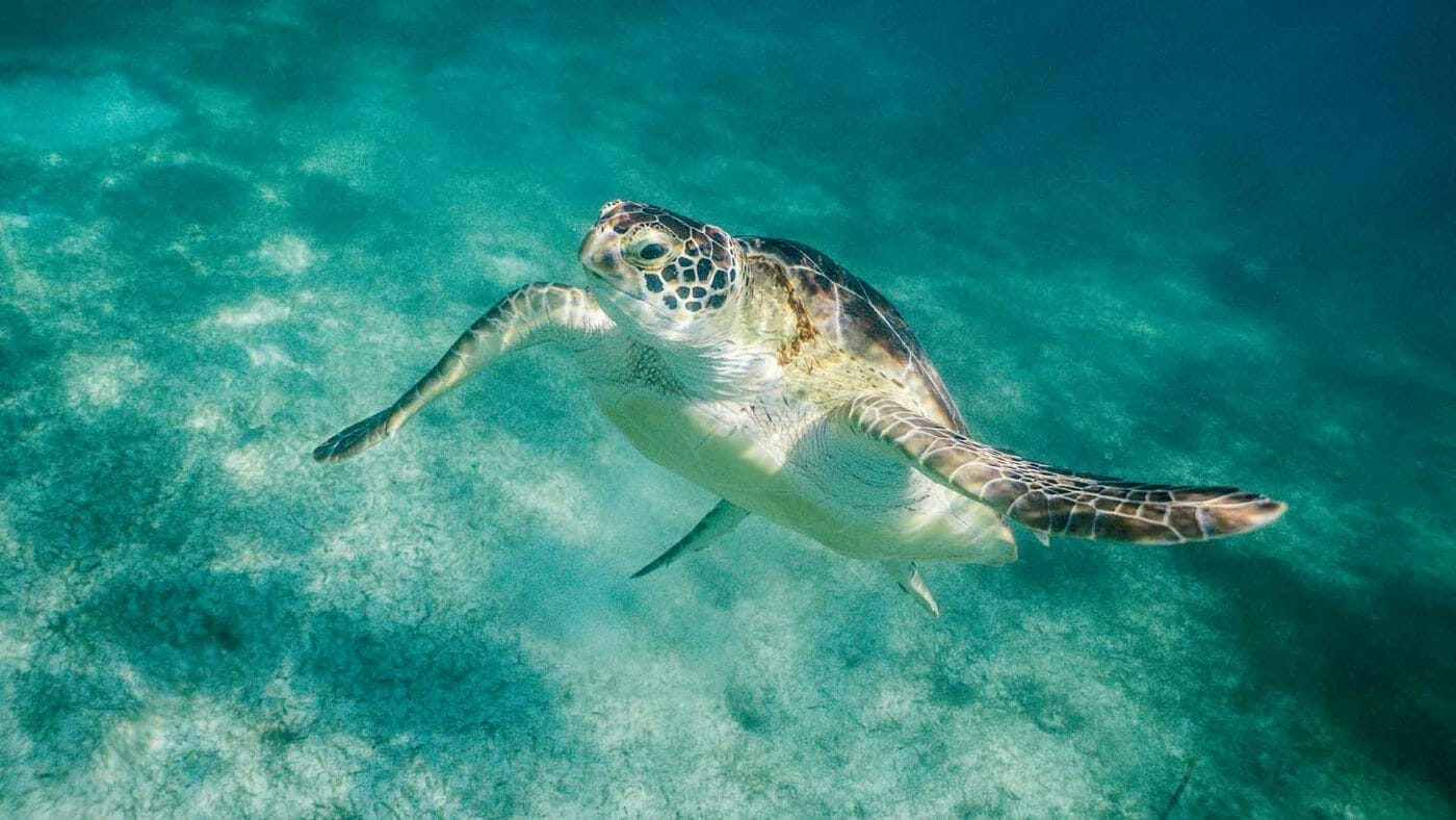 sea turtle posing for picture wallpaper