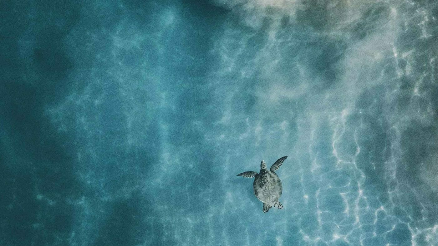 sea turtle from above wallpaper