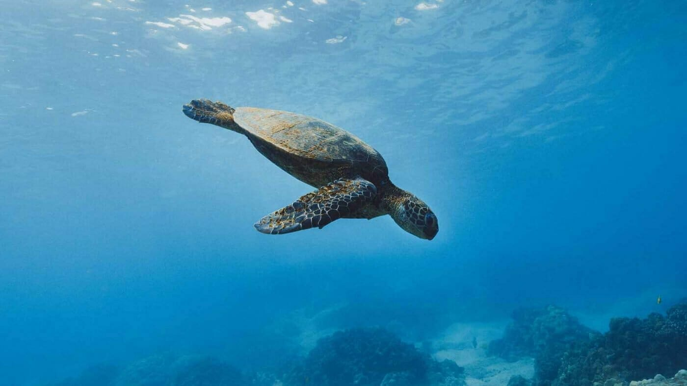 sea turtle diving into the deep wallpaper