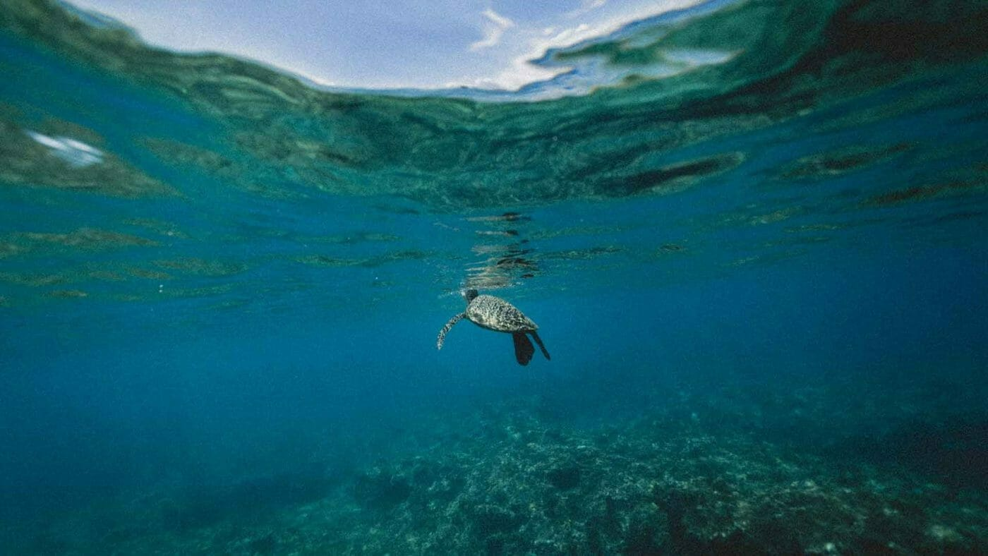sea turtle coming up for air wallpaper